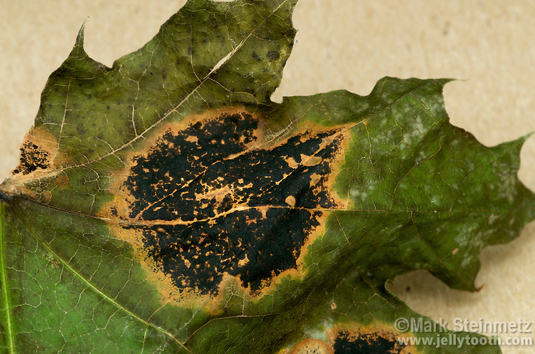 Tar Spot caused by Rhytisma acerinum on leaf of a Sugar Maple.