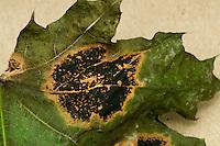 Tar Spot caused by Rhytisma acerinum on leaf of a Sugar Maple.