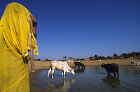 INDIA Rajasthan, Tilonia, shepherd and cattle at water hole / INDIEN Rajasthan, Tilonia, Hirten traenken Vieh an einer Wasserstelle in Steppe