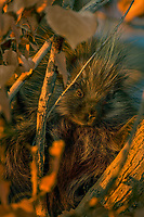 North American porcupine (Erethizon dorsatum)--also known as the Canadian porcupine or common porcupine up in tree in evening light.  Western U.S., late fall.