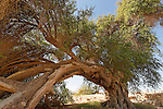 Israel, the Arava region. Jujube tree in Ein Hatzeva