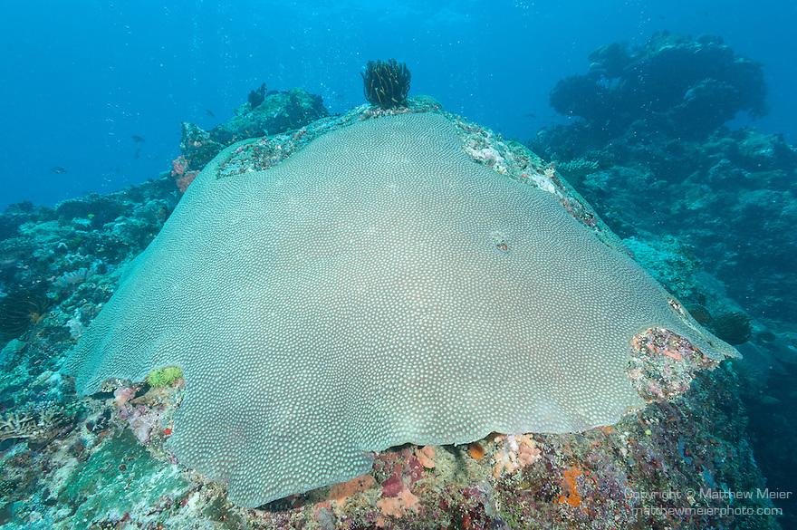 Rainbow Reef, Somosomo Strait, Fiji; a large dome shaped colony of Diploastrea heliopora corals