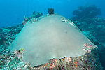 Rainbow Reef, Somosomo Strait, Fiji; a large dome shaped colony of Diploastrea heliopora corals