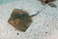 QZ0042-D. Bluespotted Stingray (Neotrygon kuhlii), previously Dasyatis kuhlii. Small ray to 70cm wide, venomous tail spine can inflict painful wound, feeds on crustaceans. Australia, tropical Indo-Pacific oceans.<br /> Photo Copyright &copy; Brandon Cole. All rights reserved worldwide.  www.brandoncole.com