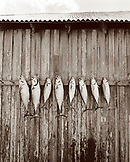USA, Florida, Bonita fish arranged in a row on wooden wall, New Smyrna Beach (B&W)