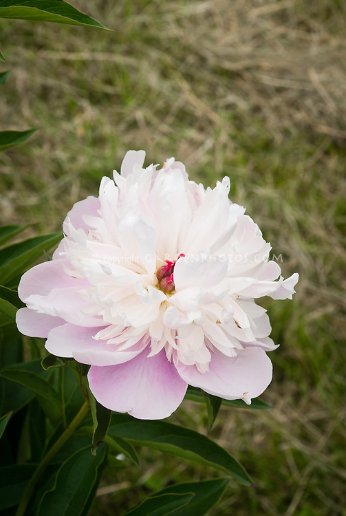 Paeonia peony pink and white herbaceous perennial 'Bowl of Beauty' in single flower