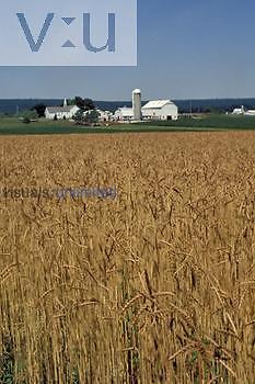 Wheat field and farm buildings, Lancaster County, Pennsylvania, USA.