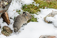 Young American pika (Ochotona princeps) eating after summer snowfall.  Beartooth Mountains, Wyoming/Montana border.  Summer.  This photo was taken in alpine setting at around 11,000 feet (3350 meters) elevation.
