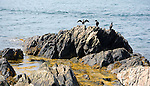 Cormorant Birds on the Rocks in Maine, USA