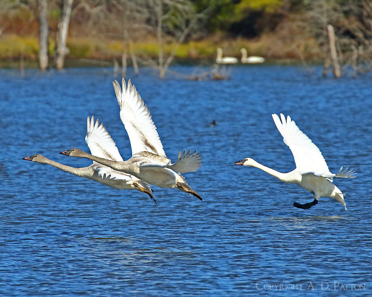 Group of trumpeter swans landing, birds in front are immature