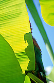 Itaparica, Brazil. Silhouette shadow of a macaw on a banana leaf backlit with sunshine.