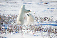01874-13413 Polar Bears (Ursus maritimus) sparring, Churchill Wildlife Management Area, Churchill, MB