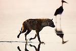 Spotted hyena (Crocuta crocuta) running in shallow water of Lake Nakuru, Marabou stork in background, Lake Nakuru National Park, Kenya