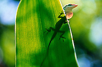 A green anole casts its shadow on a leaf as it extends its dewlap, Daytona Beach, FL . (Photo by Brian Cleary / www.bcpix.com)