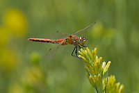 362700041 a wild male band-winged meadowhawk sympetrum semicintum perches on a flowering plant in mono county california
