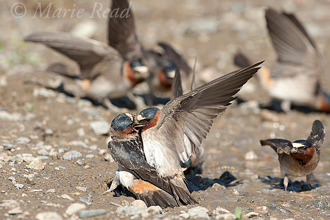 Cliff Swallows (Petrochelidon pyrrhonota) forced copulation attempt at muddy puddle where  they are gathering mud as nesting material, Mono Lake Basin, California, USA