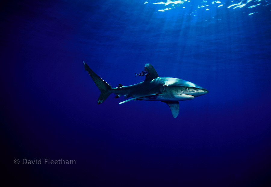 Oceanic whitetip sharks, Carcharhinus longimanus, will closely approach anything they encounter when cruising the open ocean?.including photographers.  Hawaii.