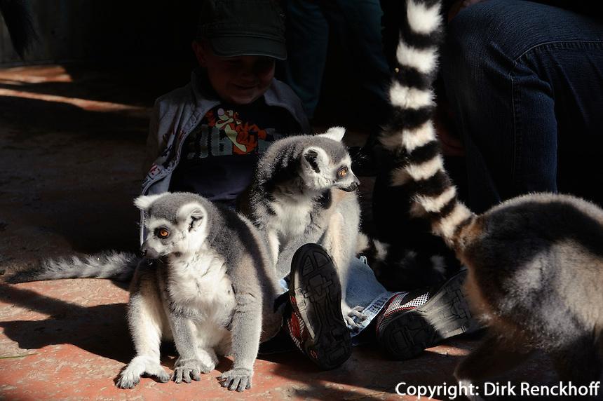 Katta (Lemure aus der Ordnung der Halbaffen)  im Tropen-Aquarium (Troparium) im Tierpark Hagenbeck, Hamburg -Stellingen, Deutschland