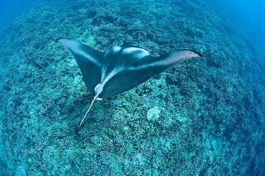 A reef manta ray, Manta alfredi, cruises over the shallows off Ukumehame, Maui, Hawaii.