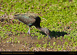 White-faced Ibis Foraging, Bosque del Apache Wildlife Refuge, New Mexico