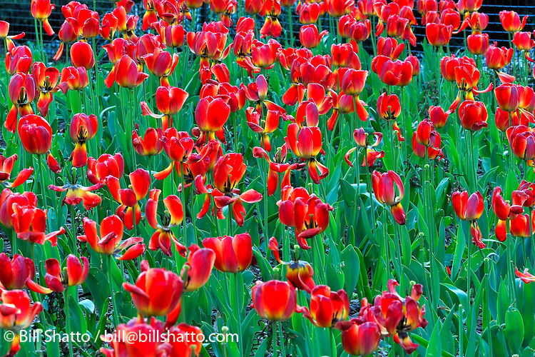Red tulips bloom in the spring in New York City's Washington Square Park.