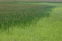 Brackish Marsh;  Dorchester Co., MD