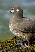 Harlequin Duck hen (Histrionicus histrionicus) along fast flowing mountain stream.  Pacific Northwest.  Spring.