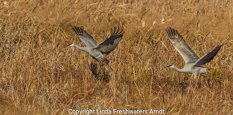 Sandhill cranes taking flight in Crex Meadows (northwestern Wisconsin).