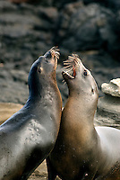 Sea lions live in large colonies. Adult male sea lions known as bulls are the head of large colonies. A bull can grow to be up to 7 ft in length and weigh 800 lbs. As males grow larger they fight to win dominance and for a territory including a harem of between 5 and 25 cows. Dominant bulls will fight off any intruders entering the territory, including tourists..