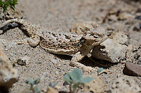437800018 a wild southern desert horned lizard phrynosoma platyrhinos calidiarum suns on the rock strewn ground in mono county california