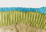Brush border of the intestinal epithelium showing numerous microvilli and a prominent glycocalyx. TEM