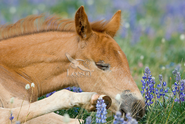 Wild Horse or feral horse (Equus ferus caballus) colt resting.  Western U.S., summer.