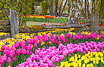 "Skagit County, WA               <br /> Rows of spring flowering tulips against a weathered split rail fence in the RoozenGaarde garden.<br /> ""Courtesy of the Washington Bulb Co. Inc."""