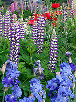 Iris and lupine at Schreiner's  iris Gardens. Brooks, Oregon