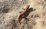 Mediterranean house gecko, Hemidactylus turcicu, island of Gozo, Malta
