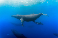 humpback whale, Megaptera novaeangliae, mother nursing calf, Kohala Coast, Big Island, Hawaii, USA, Pacific Ocean