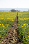 Footpath crossing filed of yellow flowering oilseed rape crop, near Wroughton, Wiltshire, England, UK