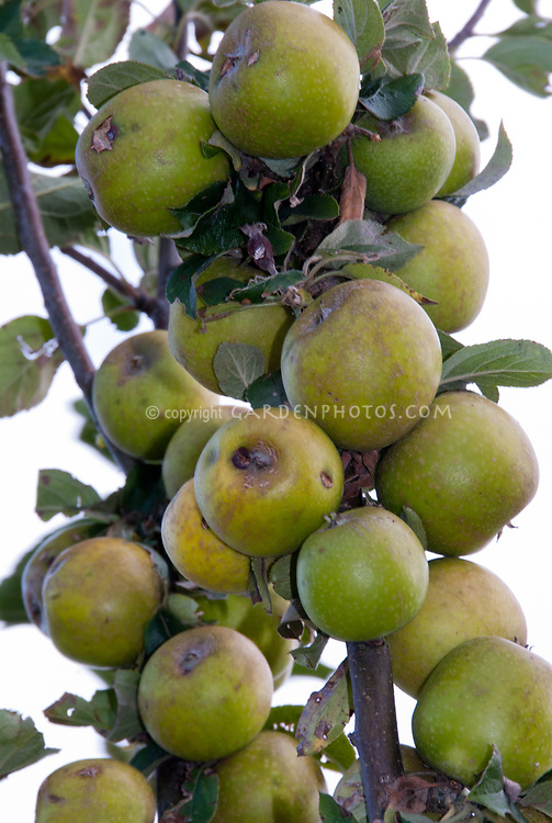 Malus Golden Harvey apple aka Round Russet Harvey aka Brandy apple fruit trees
