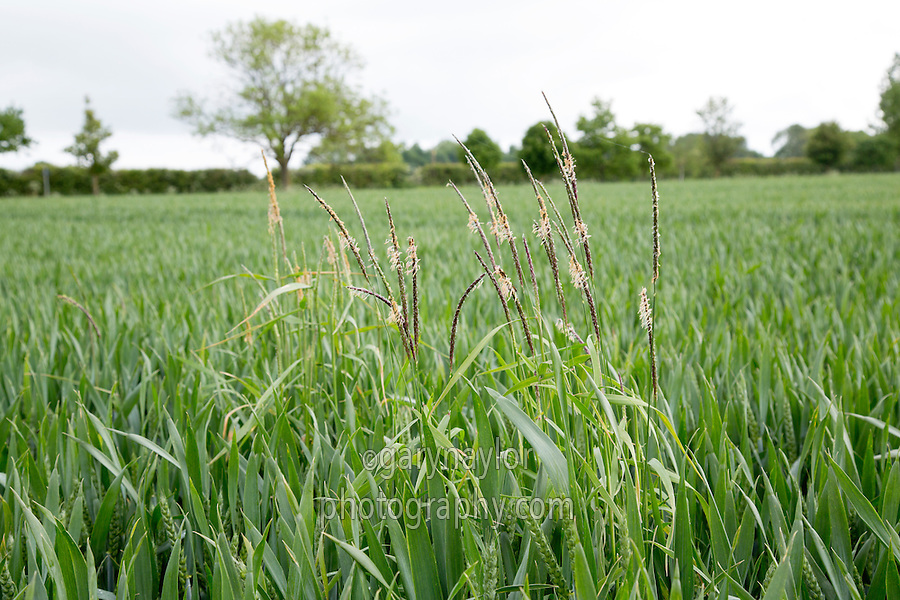 Black grass flowering in wheat - Lincolnshire, May