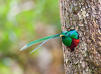 resplendent quetzal, Pharomachrus mocinno, adult male looking out of nest hole, Costa Rica, Central America