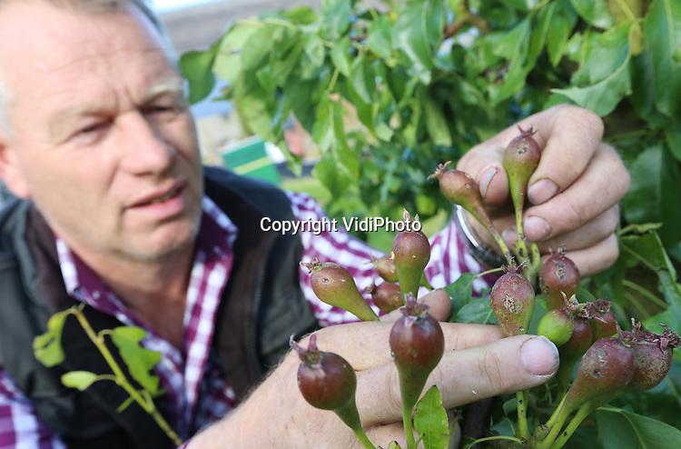 Foto: VidiPhoto<br /> <br /> DRIEL - Fruitteler Gerard Vos uit Driel in de Betuwe inspecteert woensdag zijn fruit na de enorme hagelbui van vorige week. Vrijwel zijn complete oogst aan kersen, peren en appels is verloren. Er is geen vrucht die niet geraakt is door de hagel. Vijf jaar geleden raakte Vos ook z'n complete oogst kwijt door hagelschade.
