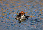 Redhead male (Aythya americana), breeding plumage, preening, Bolsa Chica Ecological Reserve, California, USA