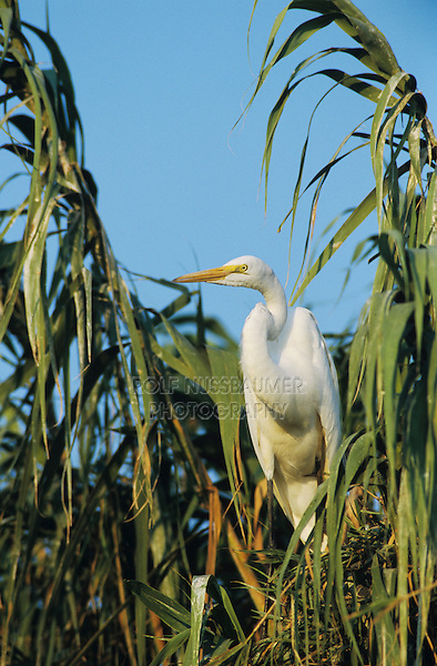 Great Egret, Ardea alba,adult, Willacy County, Rio Grande Valley, Texas, USA, May 2004