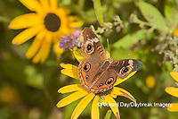 03411-01203 Common Buckeye (Junonia coenia) on Black-eyed Susans (Rudbeckia hirta) Marion Co. IL