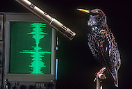 City of Millbrook, New York, Rockefeller University, December 1st 1985. The bird song is digitized to be then carefully analized and compare the various sound waves for each species.