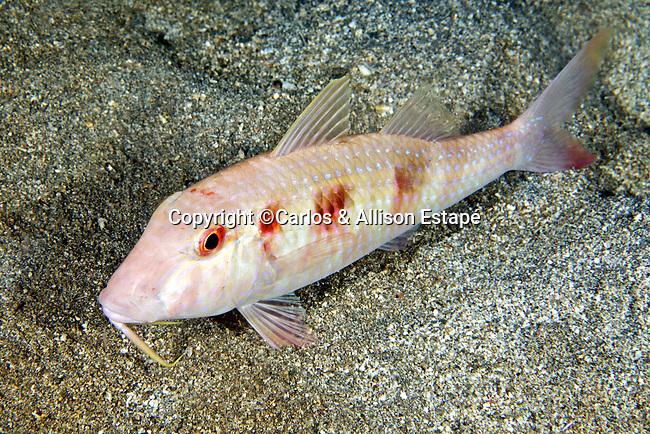 Pseudupeneus maculatus, Spotted goatfish, Dominica