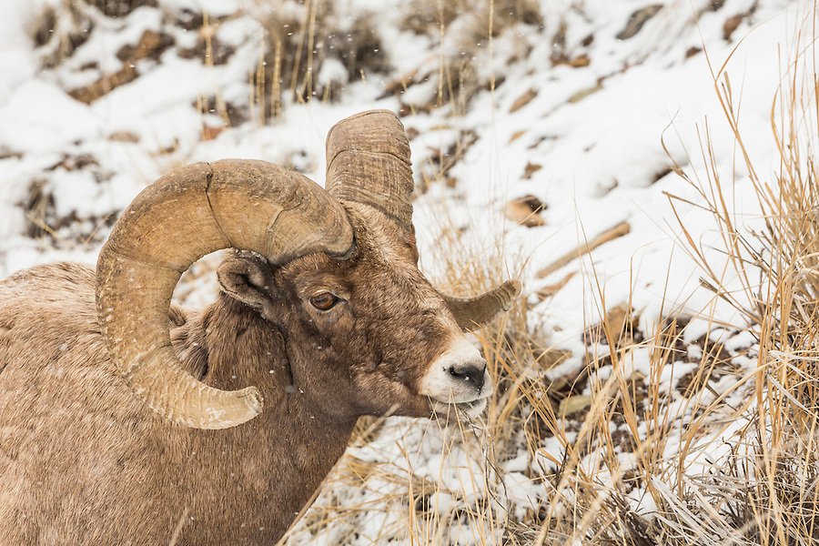 A bighorn ram grazes on dry grasses during Winter in Yellowstone National Park, Wyoming during a light snowfall.