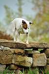 Emma. Jack Russel Terrier. Two and one half years. Climbing on stone wall.