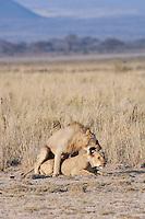 Lions mating, Amboseli National Park, Kenya