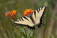 Eastern Tiger Swallowtail; Papilio glaucus;  on butterfly weed; PA, Berks County, French Creek State Park